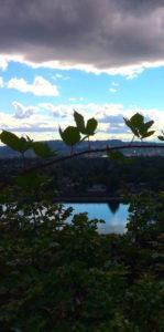 Blackberry vines on Mount Tabor, Portland, OR